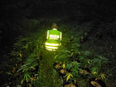 Załączniki   Multimedia  Nielegalna plantacja marihuany na Podhalu